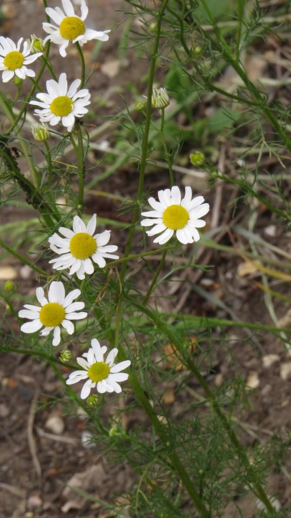 Scented Mayweed (Matricaria chamomilla)