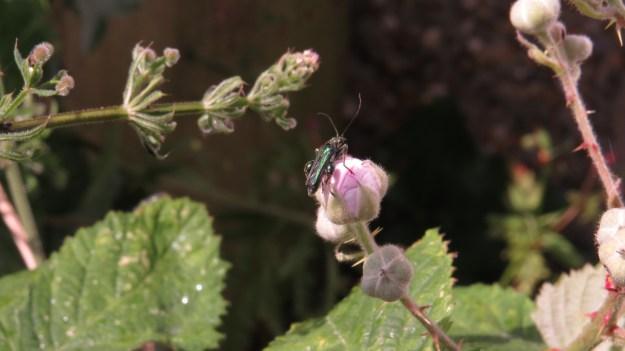 Flower Beetle (Oedemera lucida)