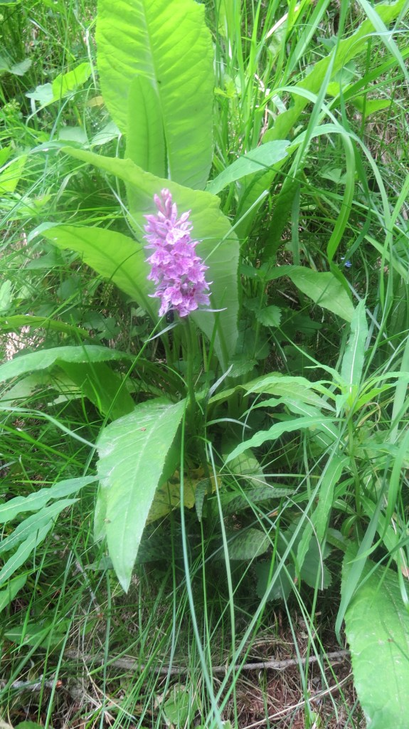 Heath Spotted Orchid(Dactylorhiza maculata)