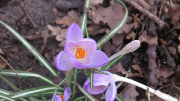 Early Crocus (Crocus tommasinianus)