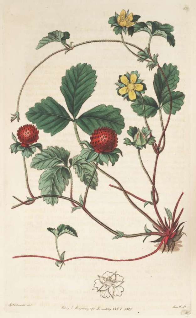 By Botanical Register, vol. 1: t. 61 (1815) [S. Edwards] - http://plantillustrations.org/illustration.php?id_illustration=96851&language=English, Domena publiczna, https://commons.wikimedia.org/w/index.php?curid=22035704