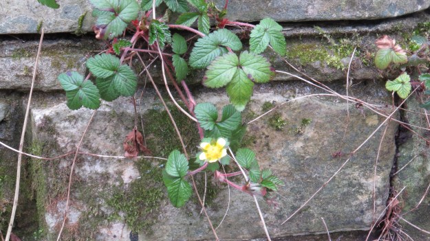 Mock strawberry (Duchesnea/Potentilla indica)