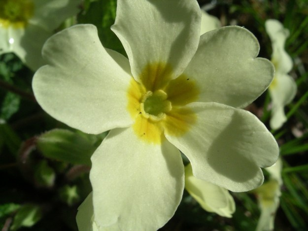 Thrum form of primrose (via wiki)