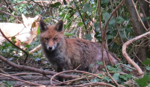 The fox now