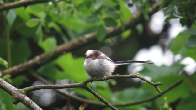A young long-tailed tit (Aegithalos caudatus)