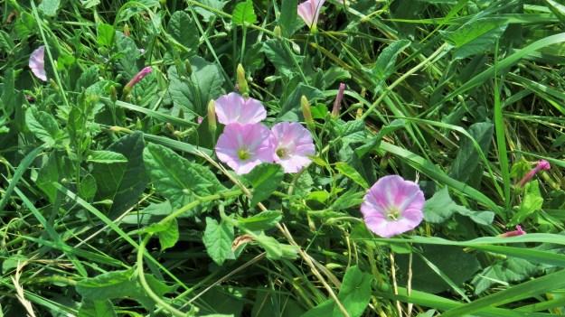 Field Bindweed (Convulvulus arvensis)