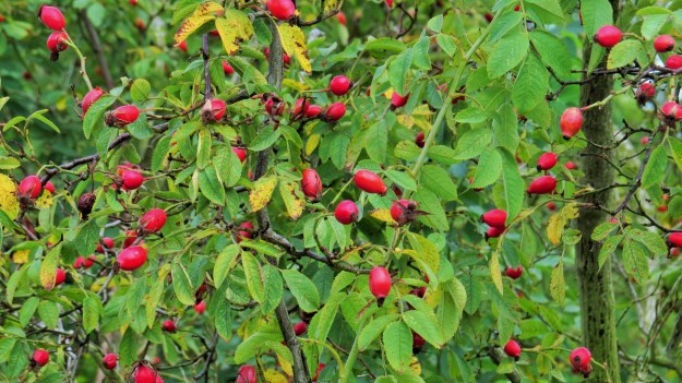 Rose hips today