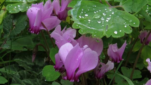 Cyclamen (Cyclamen hederifolium)
