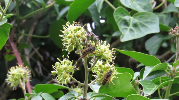Common wasps (Vespula vulgaris) on ivy flowers