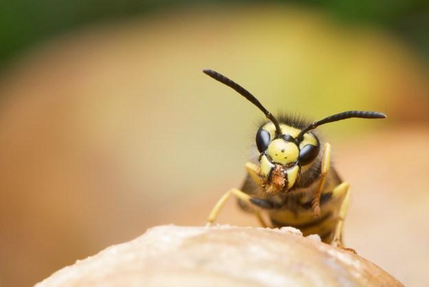 German wasp (Vespula germanica) (Public Domain)