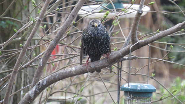 Fluffed-up starling