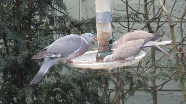 Woodpigeon and collared doves getting stuck into the sunflower hearts. The squirrels pull out the plastic feeding rings, hence the duct tape.