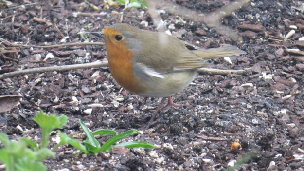 Robin picking over the leftovers