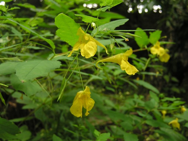 Photo Three (Touch-me-not balsam) - By MdE (page at dewiki | page at commons) (own photo) [CC BY-SA 3.0 de (http://creativecommons.org/licenses/by-sa/3.0/de/deed.en)], via Wikimedia Commons
