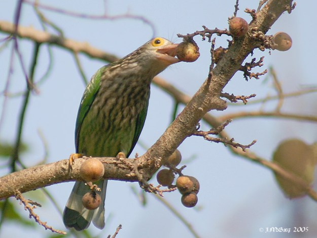 Photo Four (Barbet) by By J.M.Garg (Own work) [GFDL (http://www.gnu.org/copyleft/fdl.html) or CC BY-SA 3.0 (https://creativecommons.org/licenses/by-sa/3.0)], via Wikimedia Commons