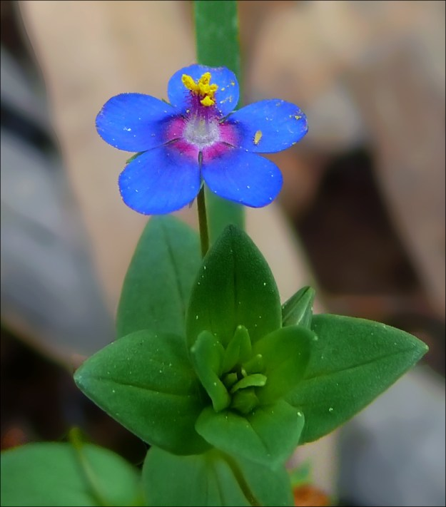 Photo Two (blue scarlet pimpernel ) by By Zachi Evenor, cropped by User:MathKnight - File:Anagallis-arvensis-Horashim2014-Zachi-Evenor.jpg, CC BY 4.0, https://commons.wikimedia.org/w/index.php?curid=39109428