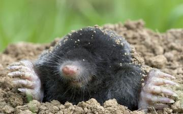 Photo One from https://www.wythamwoods.ox.ac.uk/article/mole-talpa-europaea