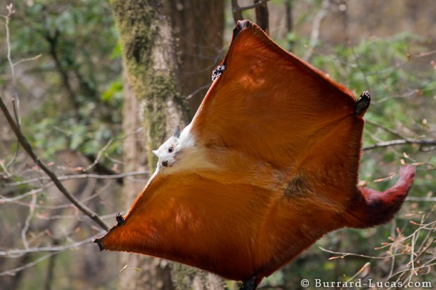 Photo Three by Burrard-Lucas.com from https://www.mnn.com/earth-matters/animals/blogs/flying-squirrel-facts