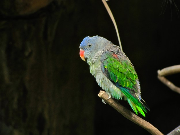 Photo Two - Blue-rumped parrot Psittinus cyanurus by By Bernard DUPONT from FRANCE - Blue-rumped Parrot Psittinus cyanurus, CC BY-SA 2.0, https://commons.wikimedia.org/w/index.php?curid=39716041