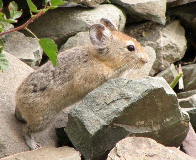 Photo Fourteen by By Karunakar Rayker - originally posted to Flickr as The Pika, CC BY 2.0, https://commons.wikimedia.org/w/index.php?curid=8707451