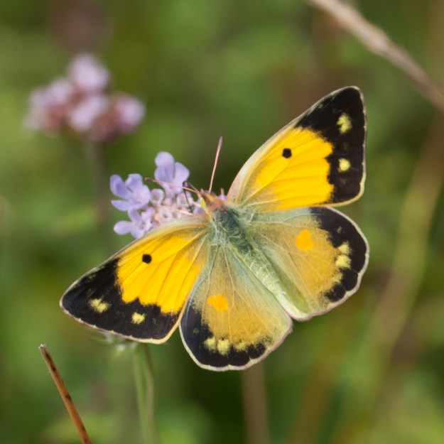 Photo 1)ii by Colin Knight from https://www.ukbutterflies.co.uk/album_photo.php?id=15605