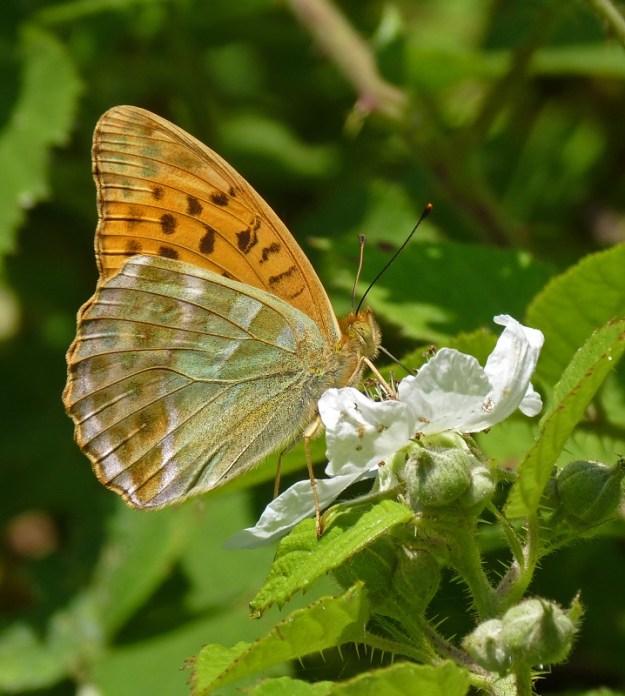 Photo 10 ii) by Pauline Richards from https://www.ukbutterflies.co.uk/album_photo.php?id=15134