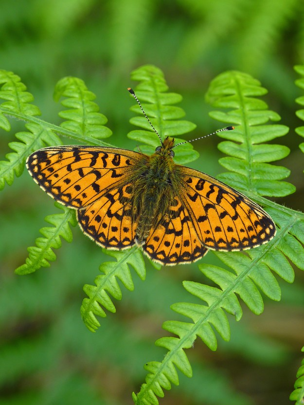 Photo 9) ii by Neil Hulme from https://www.ukbutterflies.co.uk/album_photo.php?id=24983