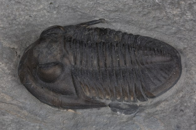 Photo Five from http://www.thefossilforum.com/index.php?/topic/91589-my-trilobite-of-the-week/&page=7