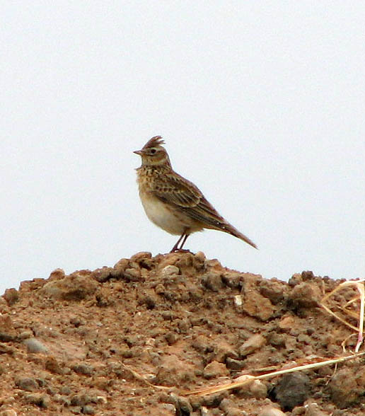 Photo Eleven by Evelyn Simak / A skylark (Alauda arvensis)
