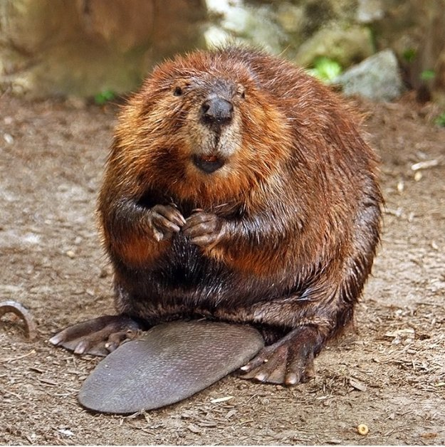 Photo One by By Steve from washington, dc, usa - American Beaver, CC BY-SA 2.0, https://commons.wikimedia.org/w/index.php?curid=3963858