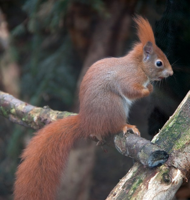 Photo Three by By Tony Hisgett - Flickr: Red Squirrel 1c, CC BY 2.0, https://commons.wikimedia.org/w/index.php?curid=14621510