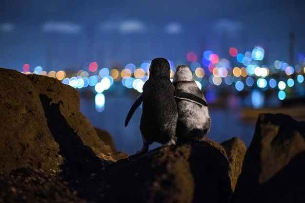 Title Photo from https://www.newscientist.com/article/mg24833132-300-image-of-fairy-penguins-watching-melbourne-lights-wins-photo-prize/