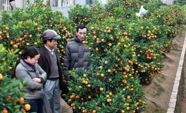 Photo Four from https://vietnamnews.vn/society/266434/clever-growers-switch-to-bonsai-kumquat-trees.html