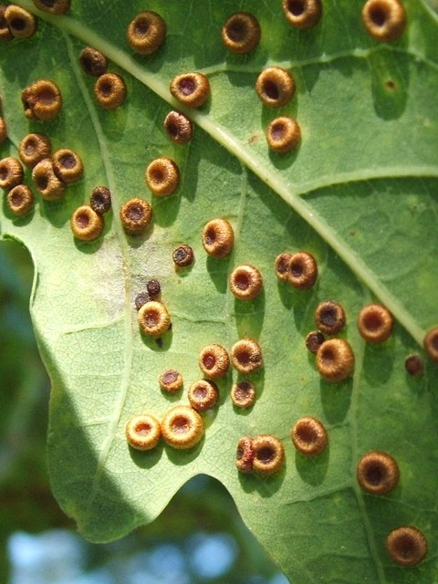 Photo One by Lairich Rig / Silk button spangle galls on oak