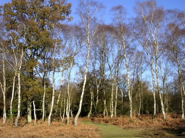 Photo 13 by Jim Champion / Silver birch on the edge of Brinken Wood, New Forest