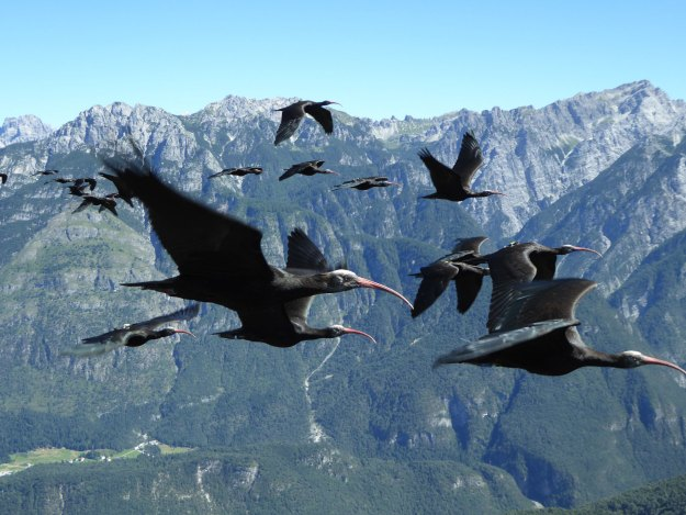 Photo Three from https://e360.yale.edu/features/after-a-400-year-absence-waldrapp-rare-ibis-returns-to-european-skies