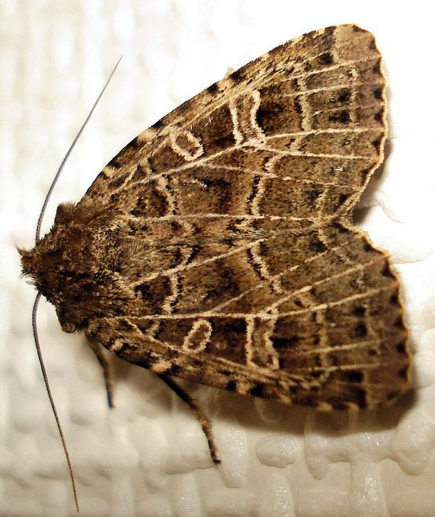 Photo Eleven by By Mick Talbot - British Moths, CC BY 2.0, https://commons.wikimedia.org/w/index.php?curid=9018635