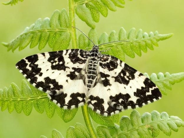 Photo Seven by Iain Leach from https://butterfly-conservation.org/moths/argent-sable