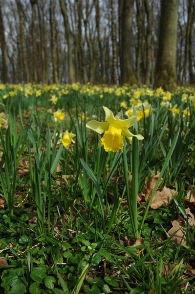 Photo Two by Philip Halling / Wild daffodils in Hallwood