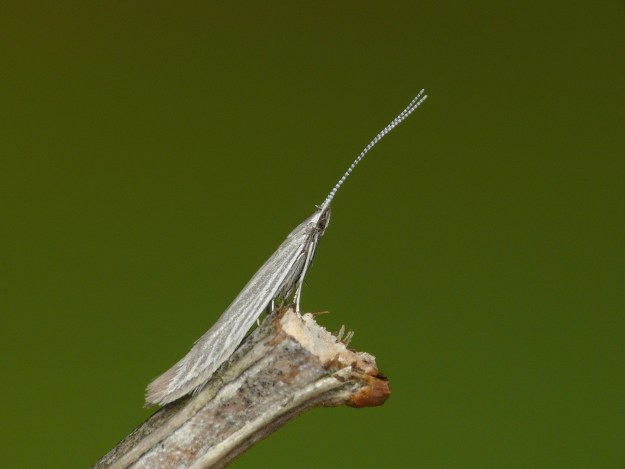 Photo Three by Patrick Clement from West Midlands, England - 37.072 BF578 Coleophora otidipennella, CC BY 2.0, https://commons.wikimedia.org/w/index.php?curid=63729084)