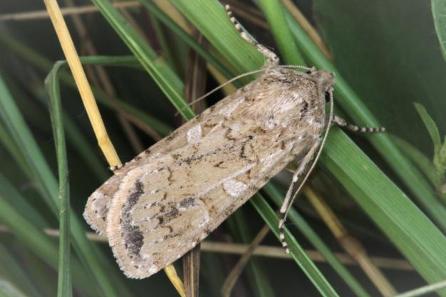 Photo Three by Garry Barlow, from https://www.norfolkmoths.co.uk/index.php?bf=20830