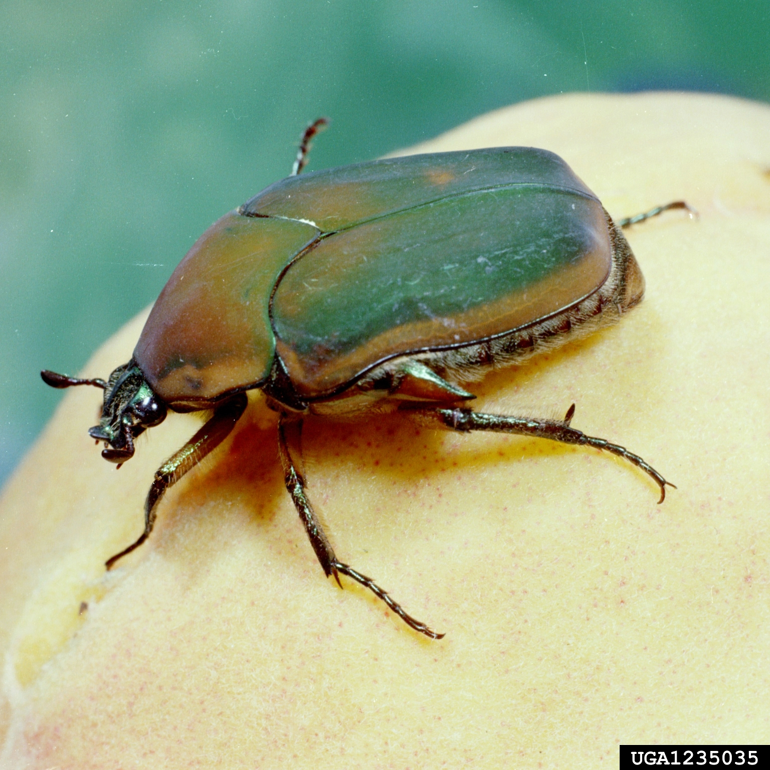 Information June Bug Beetle
