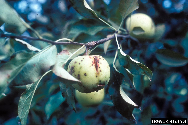 Black Rot Apple Trees