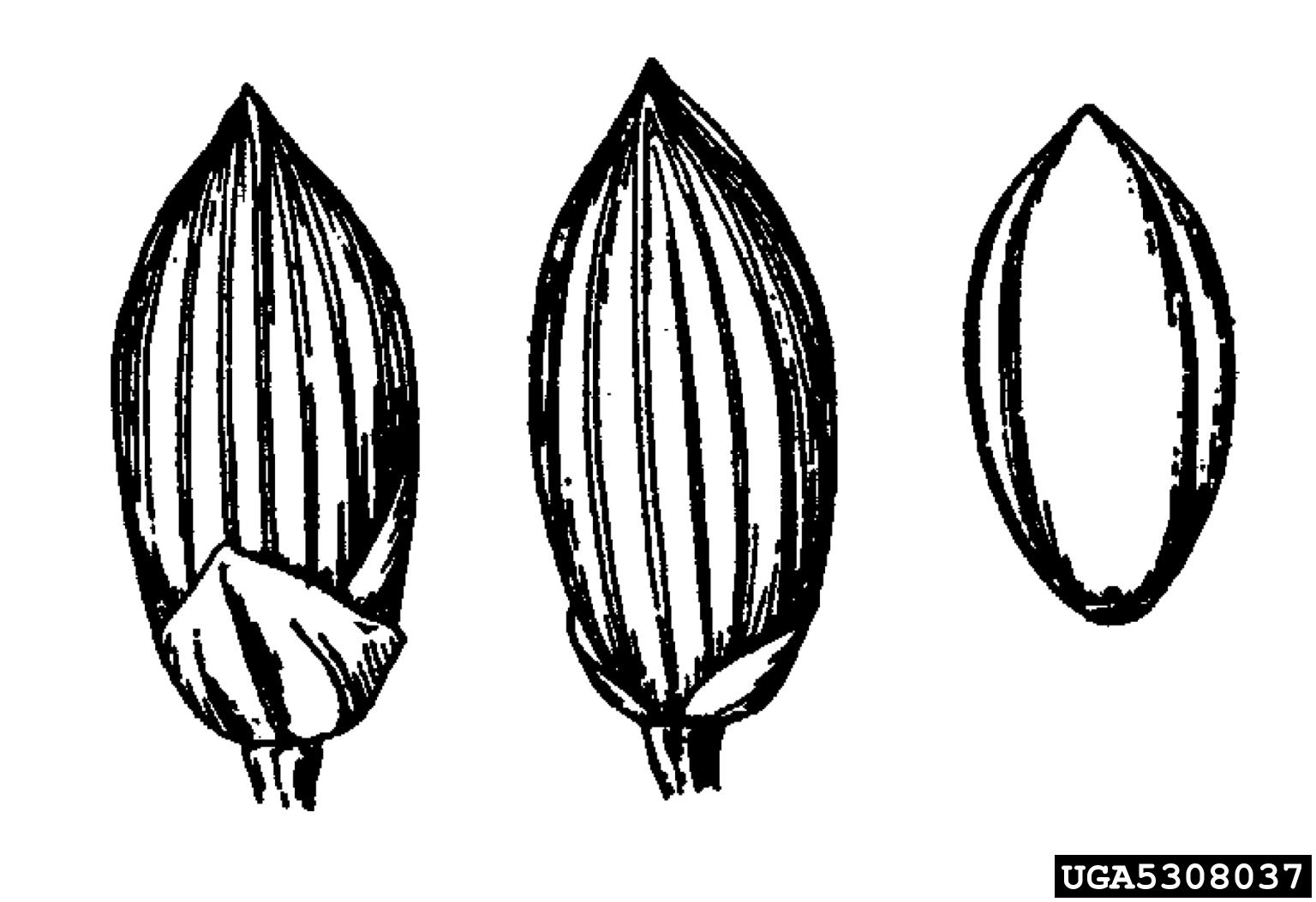 Torpedograss Panicum Repens Cyperales Poaceae