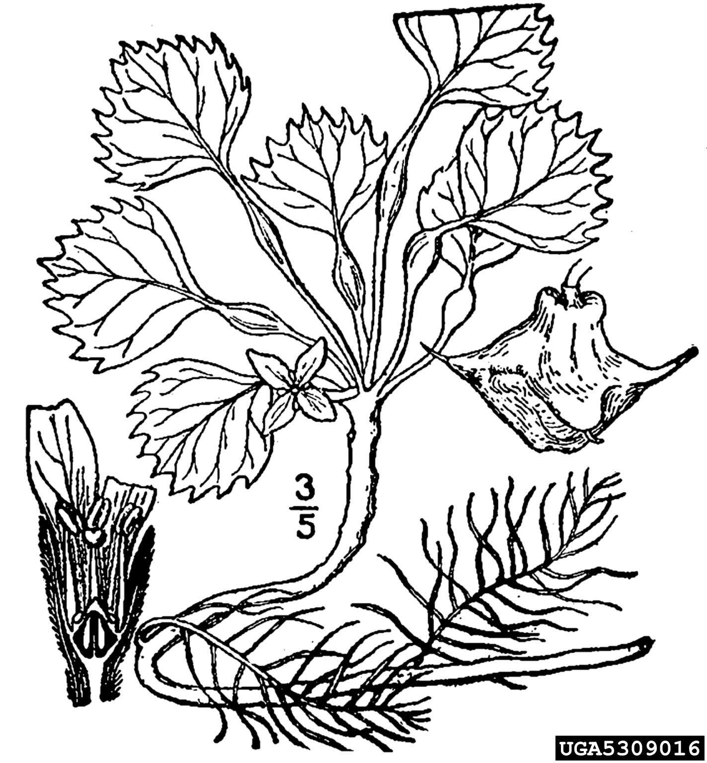 European Water Chestnut Trapa Natans Myrtales Trapaceae