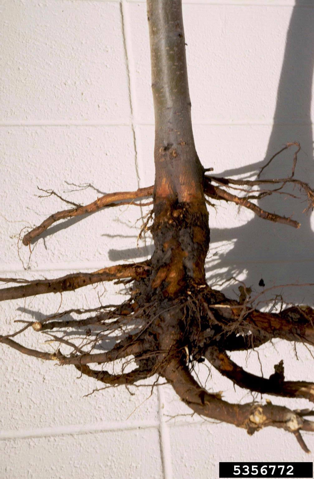 Strawberry Plant Roots
