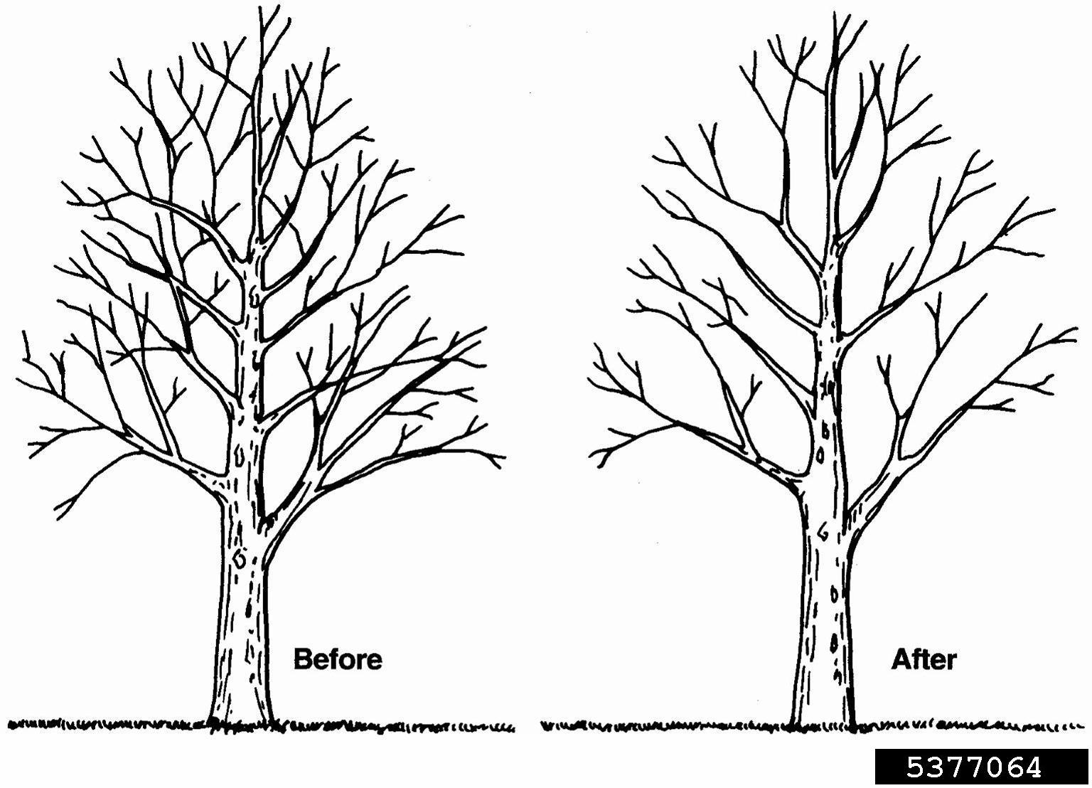 Crown Thinning Pruning