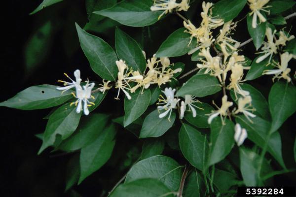 Amur honeysuckle, Lonicera maackii (Dipsacales ...