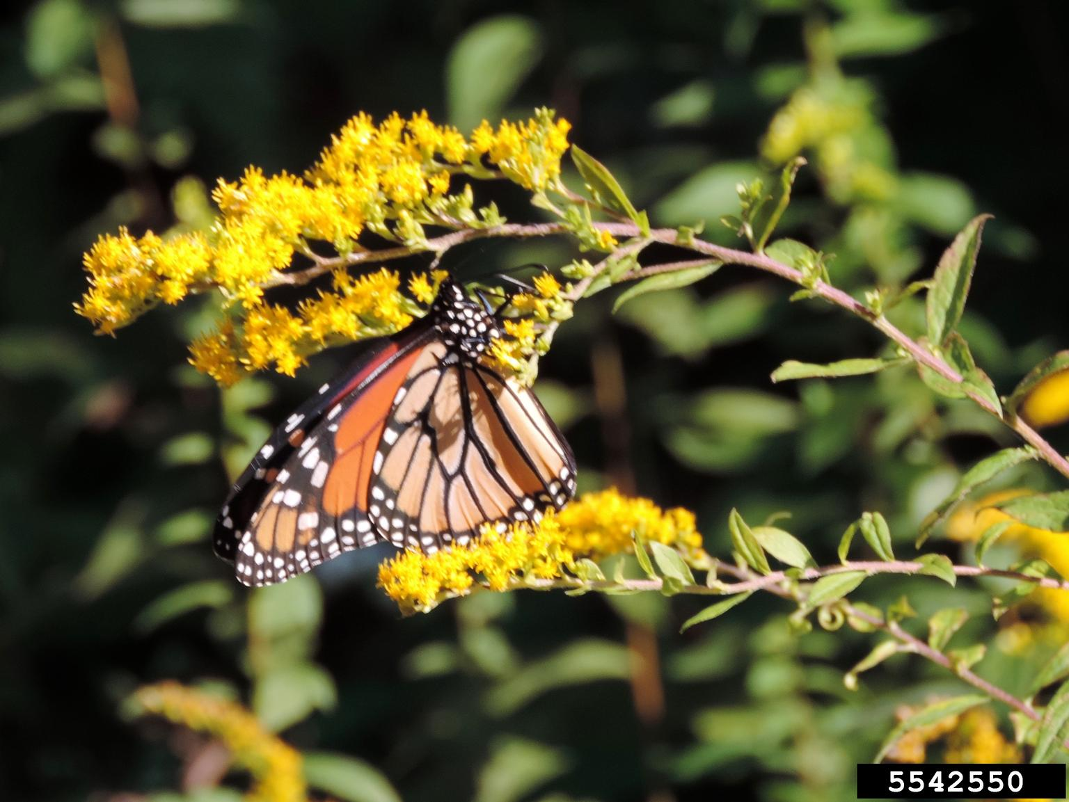 Monarch Butterfly Danaus Plexippus On Goldenrod