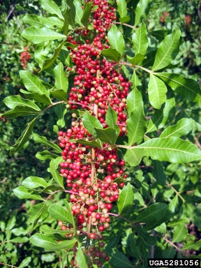 Brazilian peppertree, Schinus terebinthifolia